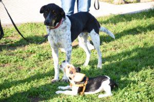 Perro adulto gira la cabeza ante cachorro de Beagle comportándose ansioso
