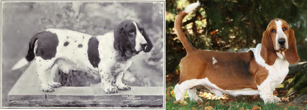 Basset Hound de 1915 y 2015