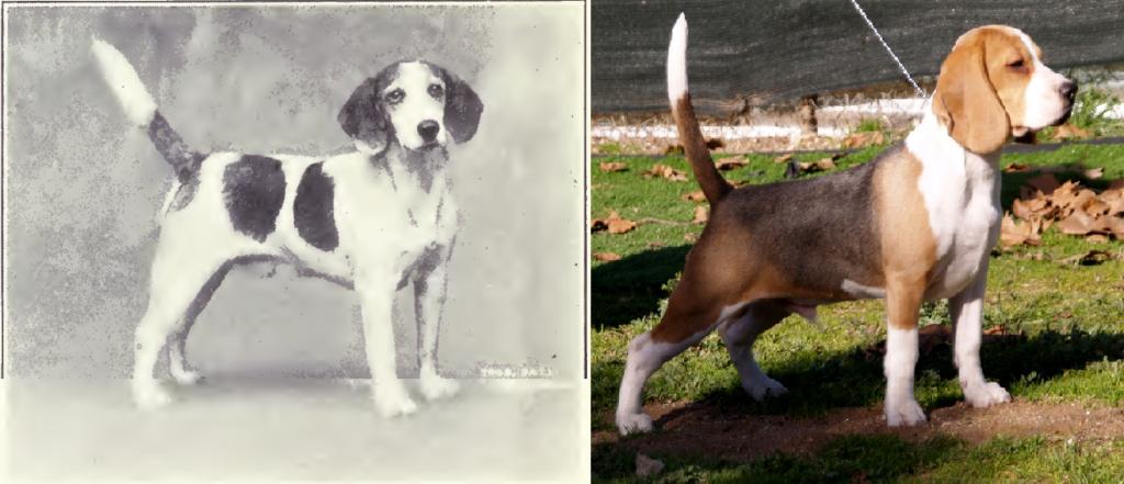 Beagle de 1915 y 2010