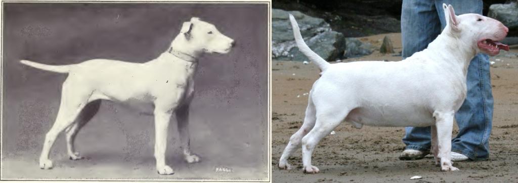 Bull Terrier de 1915 y 2006