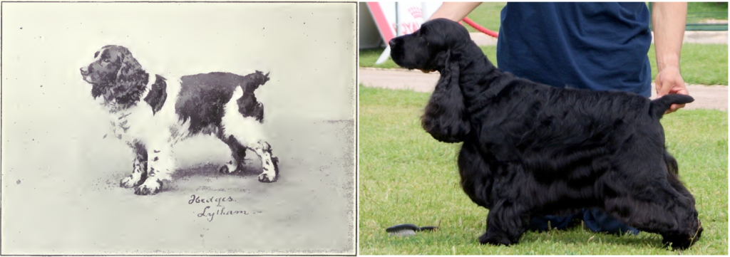 Cocker Spaniel de 1915 y 2006