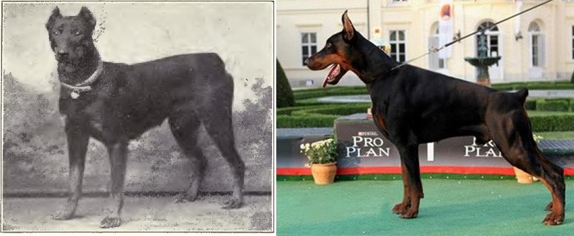 Doberman de 1915 y 2012