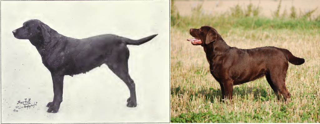 Labrador Retriever de 1915 y 2012