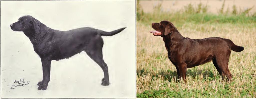 Labrador Retriever de 1915 y 2012