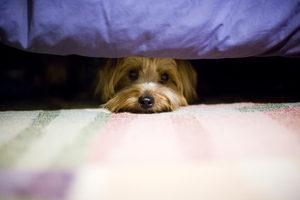 Yorkshire Terrier en su espacio seguro bajo la cama