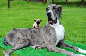 Gran Danés y Chihuahua. Ambos tienen el mismo antepasado. La diferencia la hemos creado nosotros