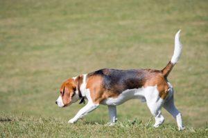 Beagle rastreando una presa