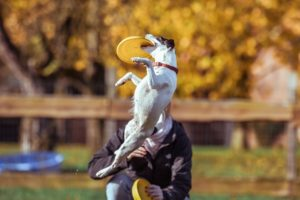 Perro haciendo disc dog